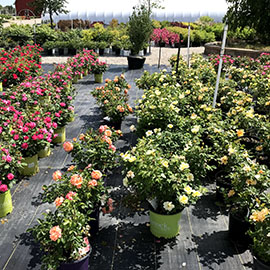 yellow, orange, pink and red roses in pots at Bay Landscaping in Essexville, MI