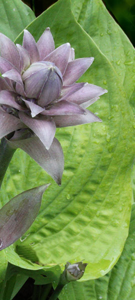 pale purple hosta flower against a chartreuse leaf